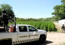Guardia Nacional Y Ejército Mexicano Localizan un Plantío de Marihuana